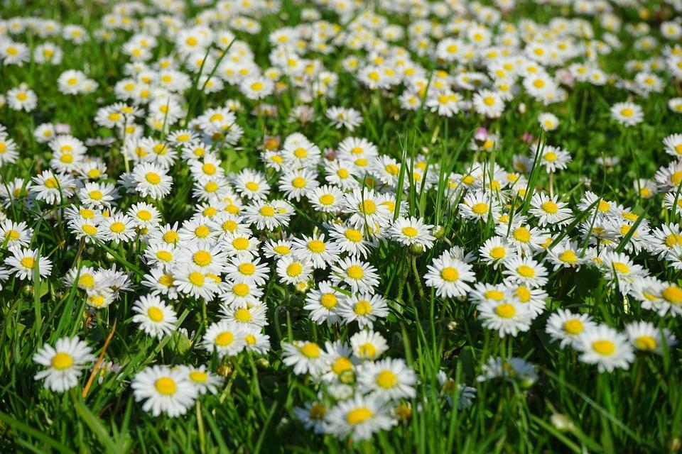 daisy-324403_960_720