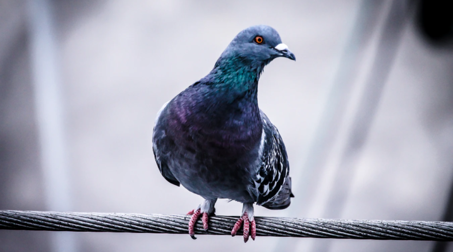Battling with pigeons: Nick's lockdown diaries